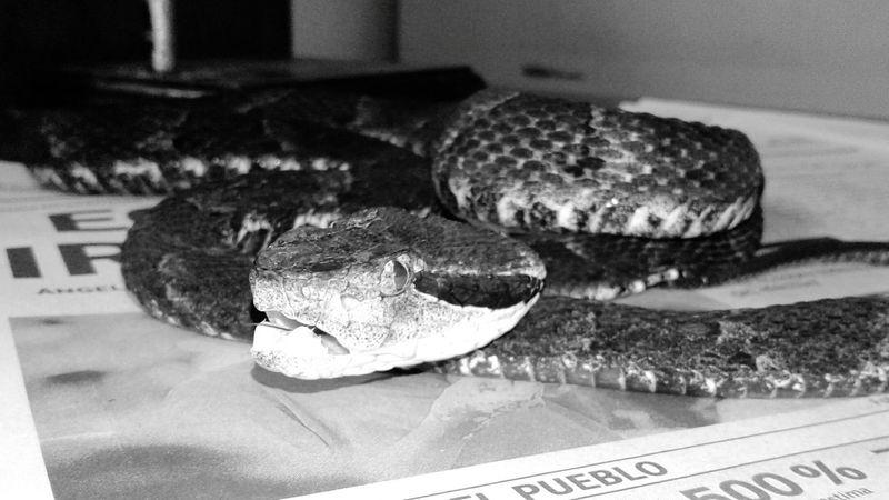 Close-up Wildlife Bothrops Snakes Venomous