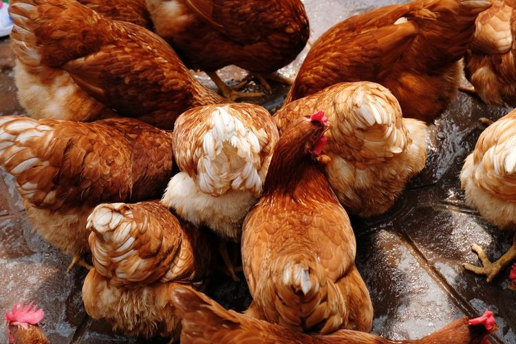 High angle view of chickens at wet farm