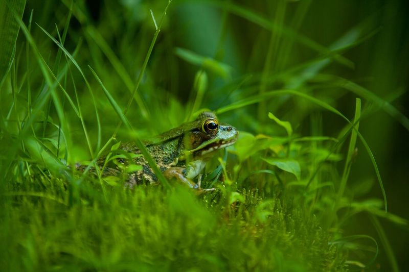 SIDE VIEW OF GREEN FROG IN THE GRASS