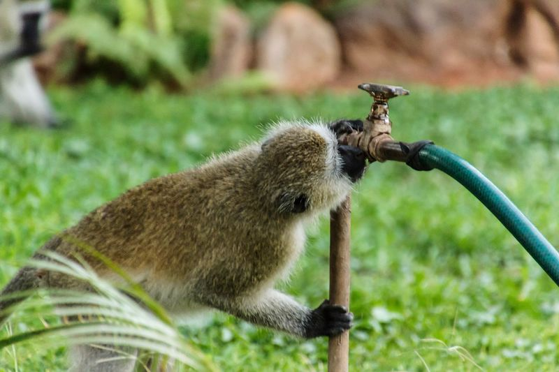 Close-up of an monkey is drinking from a water pipe
