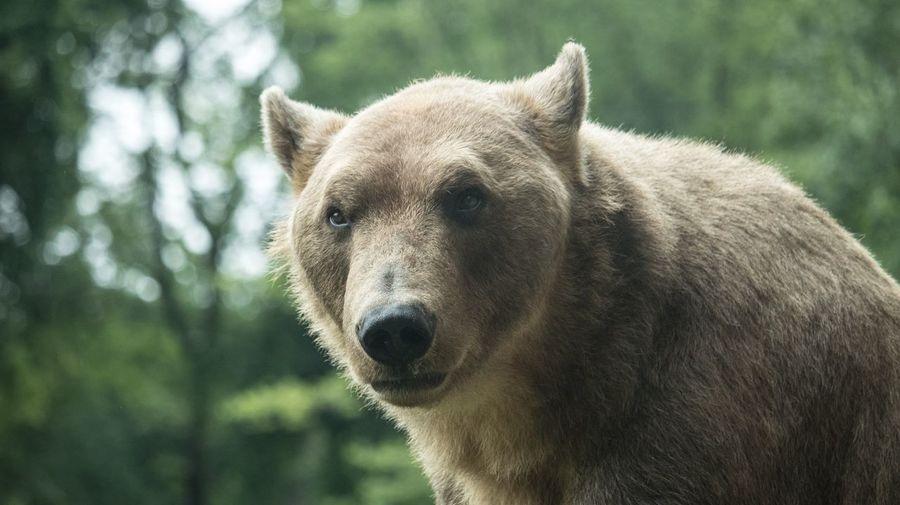 Bear Animal