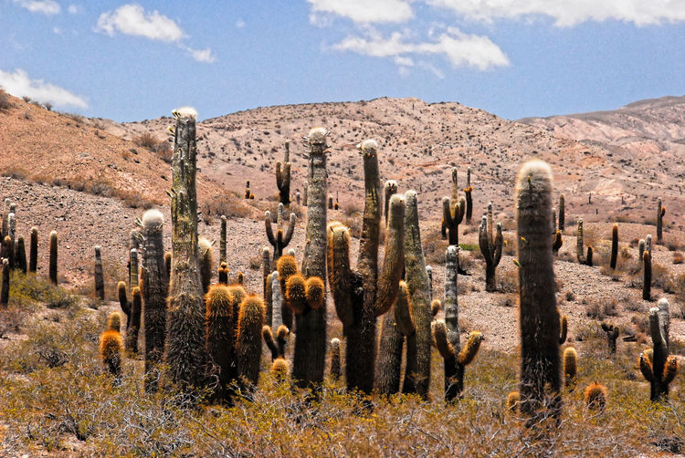 Panoramic view of cactus growing on field against sky