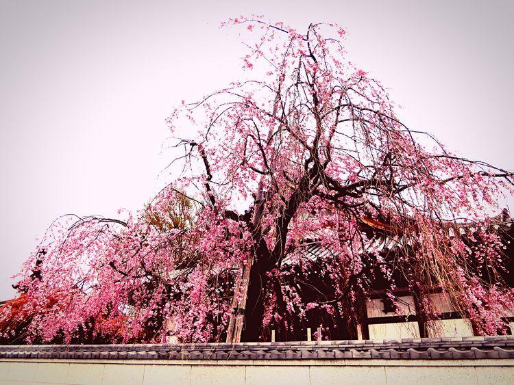 Urban Spring Fever Cherryburassamu🌸🌸🌸 桜 Beatiful View Beautiful ♥ Beatiful Macro Beauty ℓσνє♡ Photographic Memory 💕💕💕💕💕💕💕 Tokyo Days Japan Nezu Ueno Station Ueno Tokyo First Eyeem Photo 👍👍👍😝😝I Walking Alone...