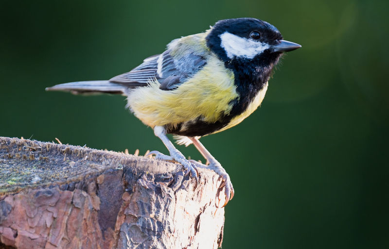 Full length of great tit perching on wooden post