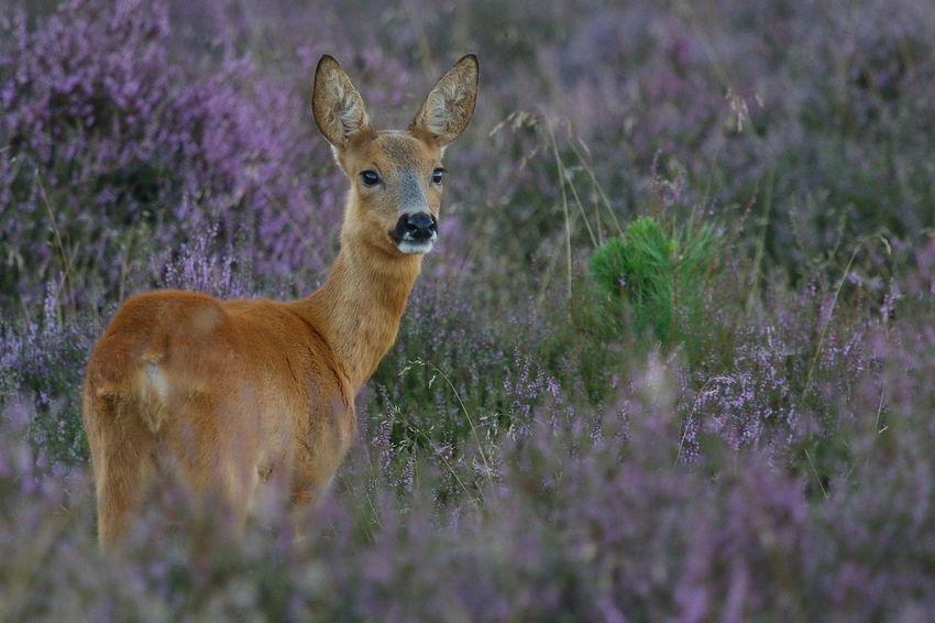 Animal Animal Themes Heide Heide Bloei Nature Reegeit Roe Deer Westerheide Wildlife & Nature