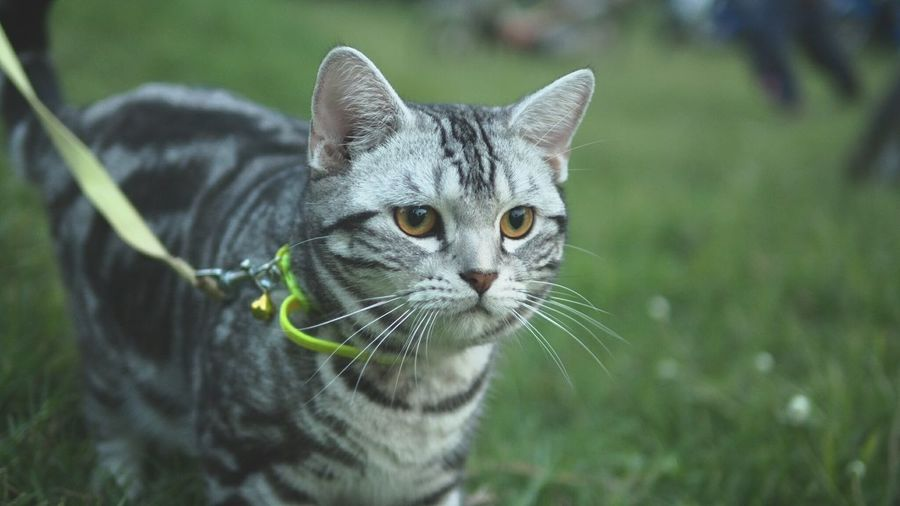 Domestic Cat Pets Domestic Animals Portrait Feline Looking At Camera Animal One Animal Mammal Animal Themes Ear No People Outdoors Grass Close-up Day Collar American Short Hair First Eyeem Photo
