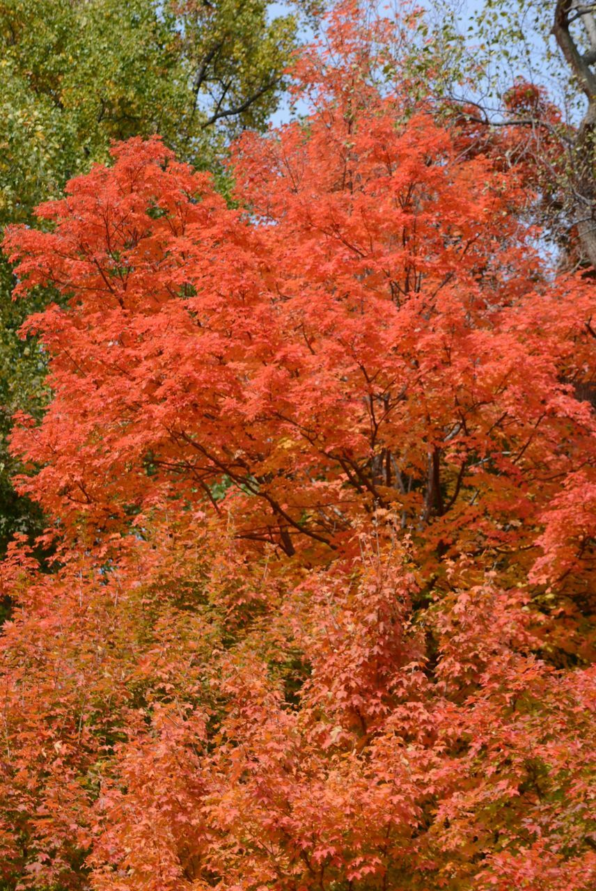 autumn, tree, nature, change, beauty in nature, leaf, forest, outdoors, maple tree, scenics, growth, red, no people, tranquil scene, deciduous tree, day, tranquility, travel destinations, plant, multi colored, branch