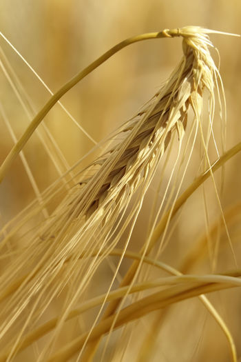 Getreide,Germany,Gerste Stalk Outdoors Rural Scene Farm Field Day Focus On Foreground Wheat Selective Focus Nature No People Cereal Plant Close-up Growth Agriculture Crop  Plant