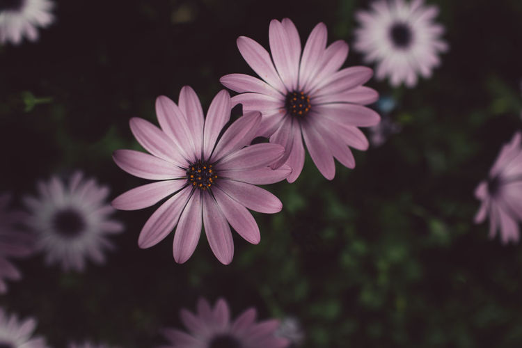 Flowering Plant Flower Plant Freshness Fragility Vulnerability  Petal Beauty In Nature Growth Inflorescence Flower Head Close-up Nature Focus On Foreground No People Pollen Osteospermum Day Outdoors Selective Focus Purple Springtime Decadence
