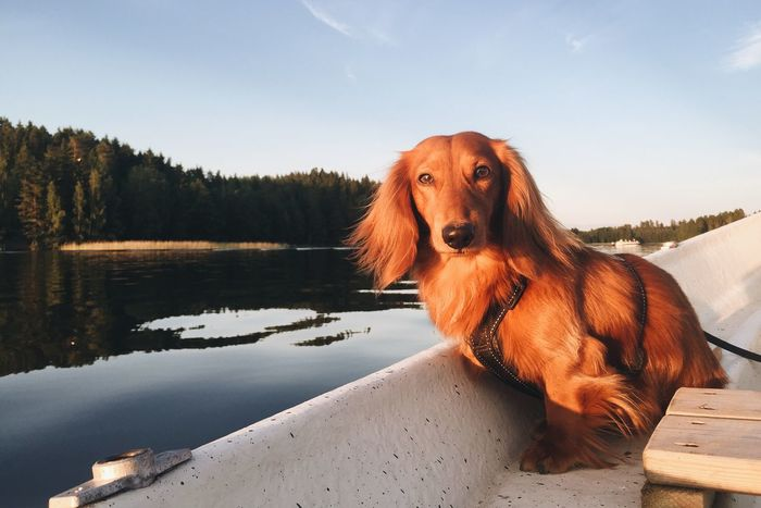 Animal Themes Boat Brown Cuteness Dachshund Day Dog Domestic Animals Golden Golden Hour Lake Lake View Lakes  Mammal Nature No People One Animal Outdoors Pets Sitting Sky Tranquil Scene Tranquility Tree Water