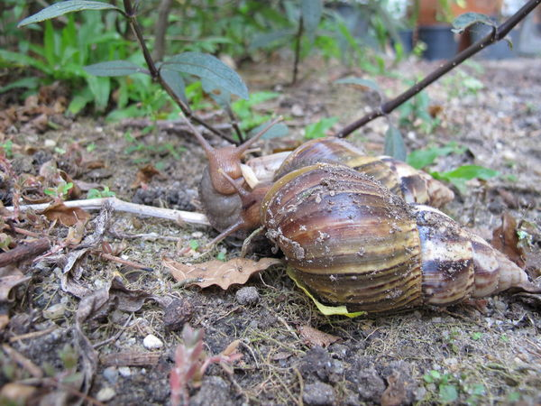 Animal Themes Animal Wildlife Animals In The Wild Close-up Day Gastropods Nature No People Outdoors Reptile Snail