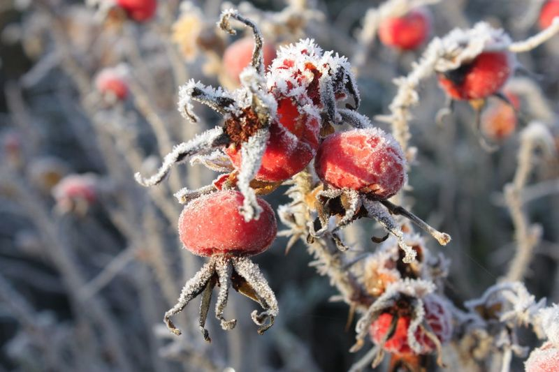 Frosty morning Nature Close-up Outdoors Growth Red Focus On Foreground Day Berry Fruit Beauty In Nature Freshness Rose Hip No People Cold Temperature