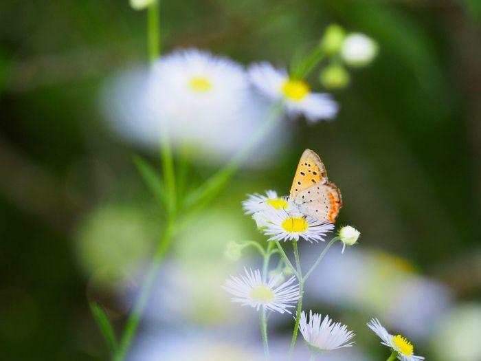 小さな優しい癒し… ベニシジミ 蝶々 Butterfly - Insect Butterfly Collection ハルジオン My Point Of View Flower Collection EyeEm Nature Lover EyeEm Best Shots EyeEm Gallery Eyemphotography Taking Photos EyeEm Best Shots - Nature