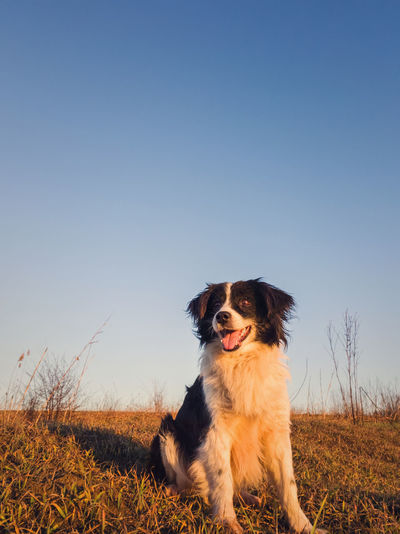 Vertical portrait of a smiling border collie dog posing happy, open mouth expression, sitting.