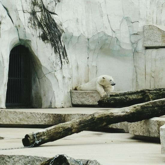 Majestic Creature : Polar Bear , I am happy that I saw one before it is extinct :) Nature Animals In Captivity Zoo Endangered Species