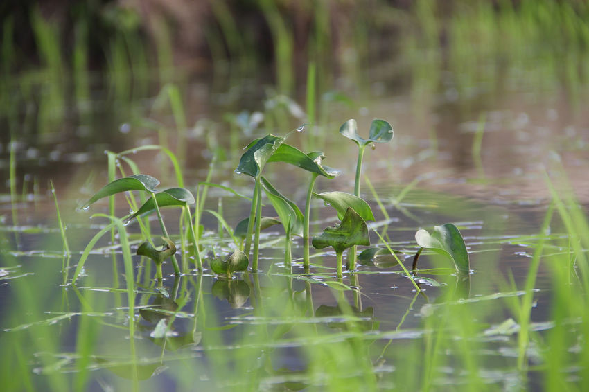 plant grow in water Grass Green Out Of Focus Pond Water Reflections Beauty In Nature Beauty In Nature Close-up Day Flower Fragility Freshness Grass Green Color Growth Lake Nature No People Outdoors Plant Selective Focus Snowdrop Water