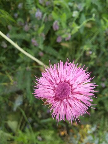Flower Nature Purple Fragility Plant Beauty In Nature No People Outdoors Flower Head Day Growth Pink Color Close-up Thistle Freshness Güzel Memleketim Amatör çekimlerim Turkey Kütahya Türkiye Hello World First Eyeem Photo Fırst Eyeem Photo Hello World Kütahyalı Gm5plus