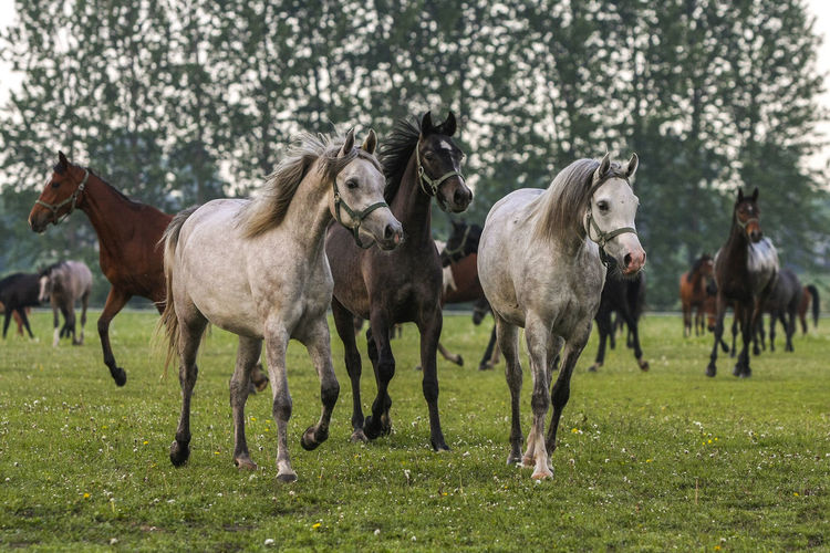 Animal Themes Arabian Horses Domestic Animals Gallop Galloping Grass Herd Of Horses Horse Horse Stud Horses Mammal Nature No People Outdoors