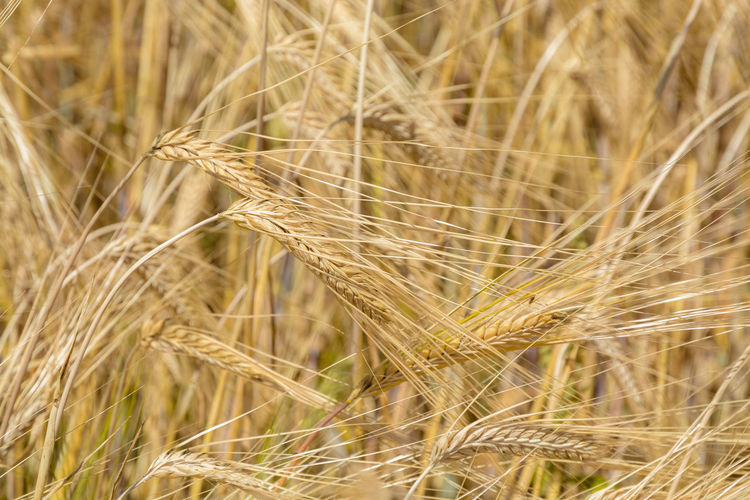 Beer Agriculture Barley Beauty In Nature Brewing Cereal Plant Close-up Crop  Day Ear Of Wheat Farm Field Focus On Foreground Growth Harvest Land Landscape Nature No People Outdoors Plant Rural Scene Rye - Grain Stalk Wheat