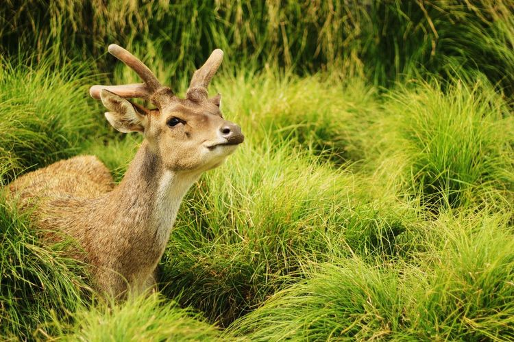 Smelling vs cute acting Object Rancaupas Deer Animals Mammal INDONESIA Bandung First Eyeem Photo