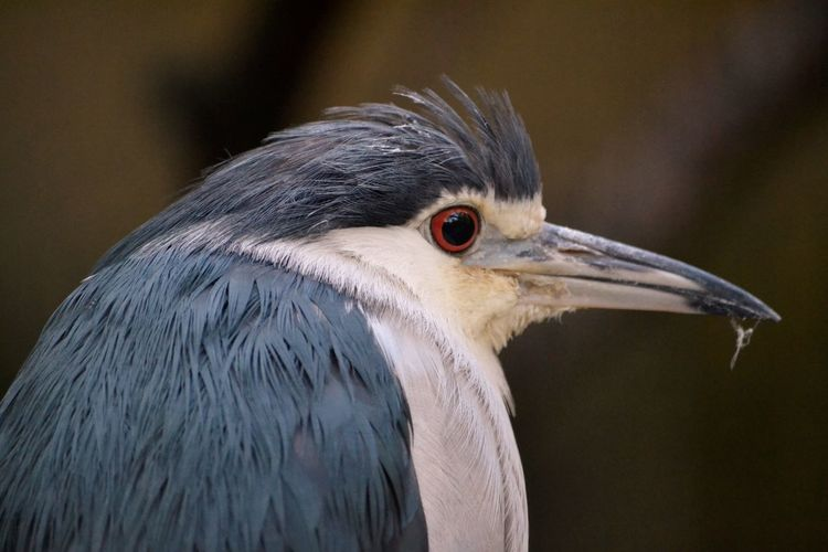 Close-up of black crowned night heron