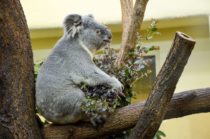 Koala sitting on tree trunk