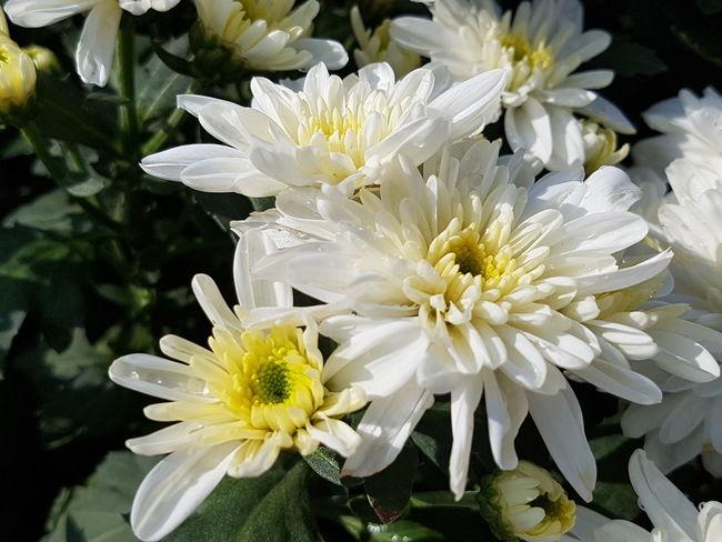 Close up of chrysanthemum flower. Chrysanthemum Flower Head Flower Yellow Petal Water Pollen Stamen Close-up Plant