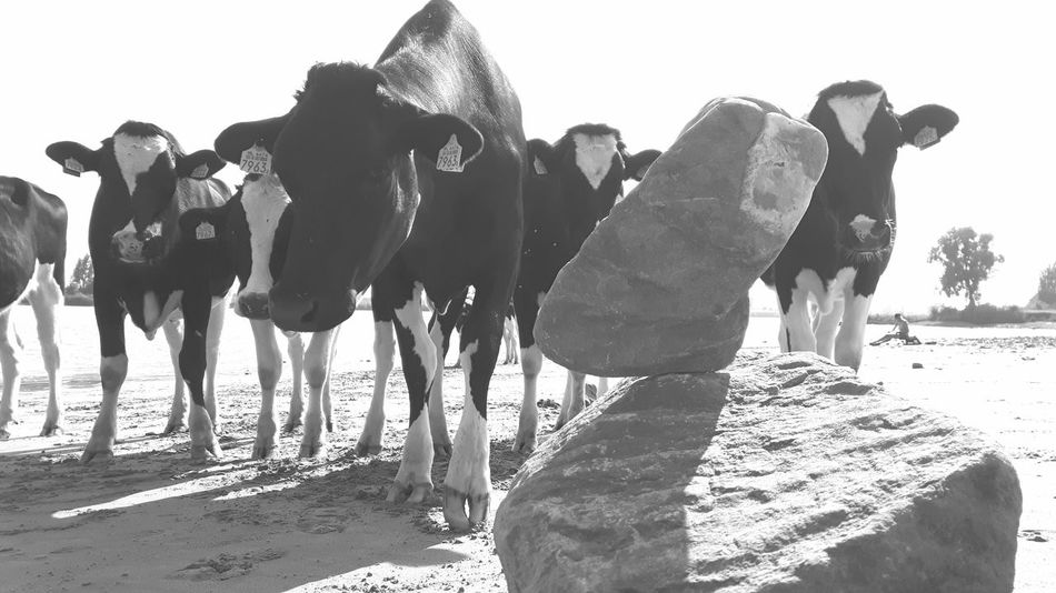 There are Cow-art Lovers and Cowardlovers I prefer the first group! Much More Fun! My Favourite Place The Alternative Bnw_friday_eyeemchallenge Cows ❤my Audience! 🐄🐄🐄🐄🐄 Sending Unconditional Love to everyone!❤💙💚💛💜💖❣ Creative Activism Majestic Atmospheric Mood Nefelibata Free Spirit Non Verbal Communication Sociopath😂😂😂😂😂Rock Balancing Life Is A Beach Small Community One Mans Trash Is Another Mans Treasure Tiny Circles True Friends 1man Vs Many Cows Positive Activism 😚 Precision ❤bombs