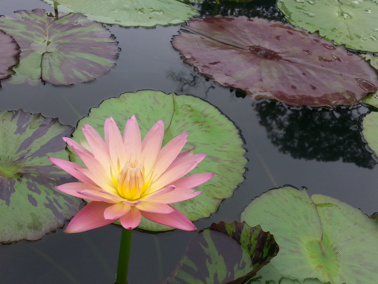 flower, leaf, beauty in nature, water lily, petal, lotus water lily, freshness, nature, flower head, fragility, growth, plant, lily pad, no people, water, lotus, pink color, floating on water, outdoors, day, close-up, blooming, lake