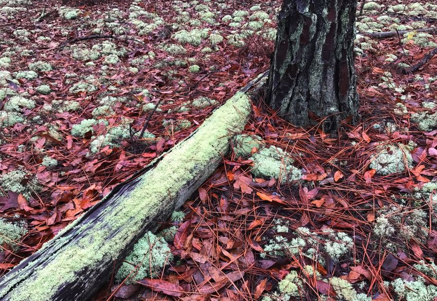 Rust-colored forest floor covered with patches of pale green Reindeer Moss (Powder Puff Lichen). Moss Forest Floor Fallen Leaves Fallen Tree Tree Tree Trunk Leaf Nature Change No People Outdoors Day Fallen Forest Ecology Reindeer Moss Powder Puff Lichen Lichen