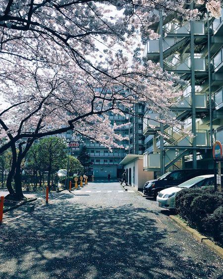 Sakura Japan Cherry Sakura Built Structure Architecture Building Exterior Plant No People Street Day First Eyeem Photo