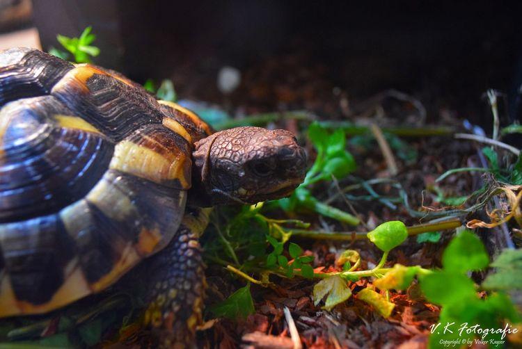 Animals In The Wild Animal Themes One Animal Schildkröte Schildkröten  Turtle Turtles Turtle 🐢 Reptile Reptiles Reptilien Terrarium🍀 Terrarium