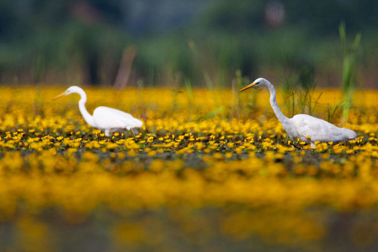 The great egret from crna mlaka in a shallow wetland