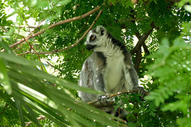 Tree Koala