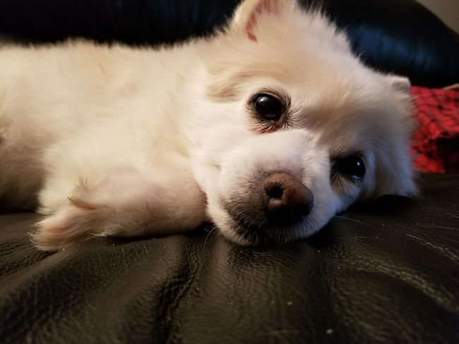 Pets Dog One Animal Domestic Animals Animal Themes Mammal Animal Looking At Camera Lying Down Portrait Cute Animal Hair Puppy No People Young Animal Beauty Indoors  Close-up Day