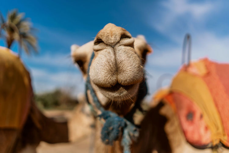 Marrakesh Marrakech Morocco Travel Destinations Tourist Destination Travel Photography Travel Mammal Animal Themes Camel Livestock Working Animal Domestic Animals Close-up Animal Focus On Foreground No People Outdoors Animal Body Part Selective Focus Herbivorous Domestic Desert Landscape Nature
