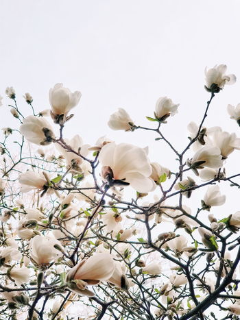 Tree Flower Flower Head Branch Springtime Blossom Backgrounds Sky Close-up Plant In Bloom Blooming Plant Life Flowering Plant