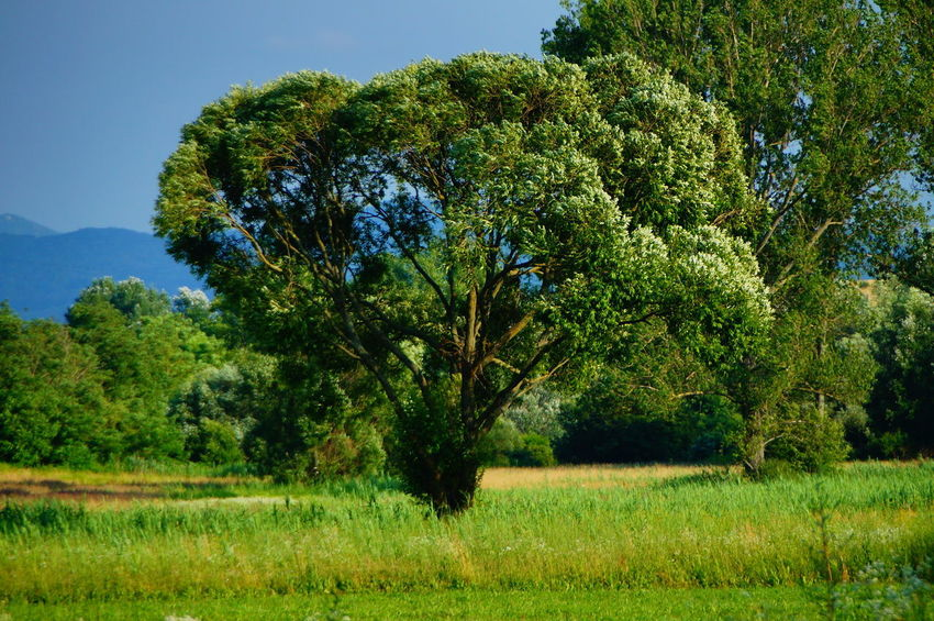 Lonely tree in the green Adventure Beauty In Nature Clear Sky Day Field Freshness Grass Green Color Growth Landscape Lonely Tree Nature No People Outdoors Pilis Pilisszántó Plant Scenics Sky Summer Tranquil Scene Tree