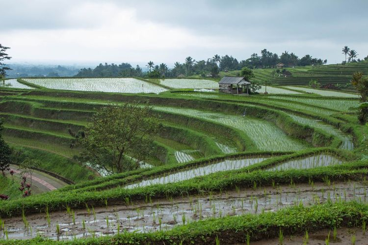 Rice fields Growth Agriculture Plant Rural Scene Field Farm Sky Environment Beauty In Nature Cloud - Sky Scenics - Nature Crop  Nature Landscape Land Green Color Tranquility Tranquil Scene Terrace Plantation