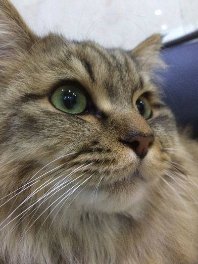 Persiancat Chinchilla Cat
