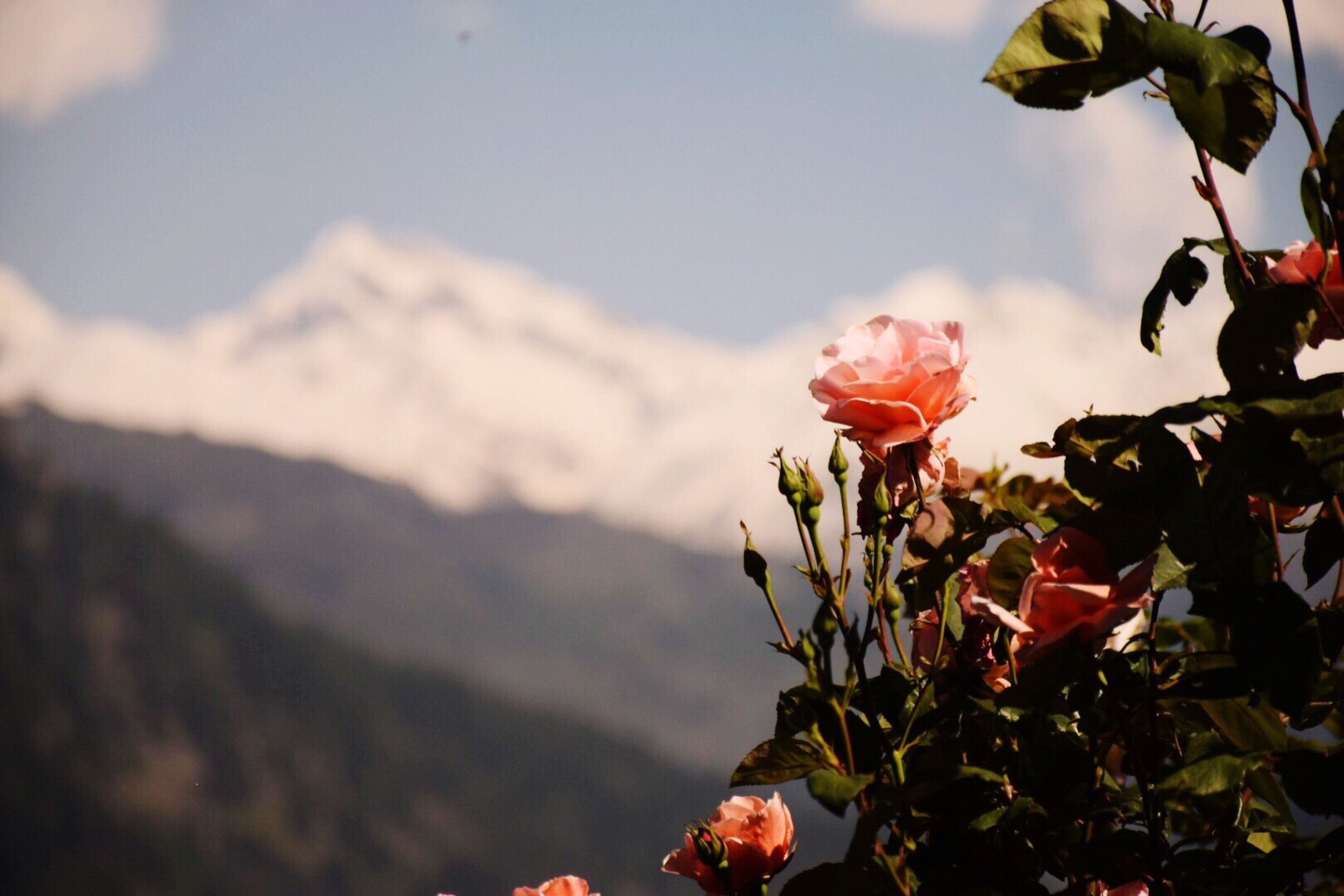 flower, flowering plant, plant, beauty in nature, growth, freshness, nature, close-up, vulnerability, mountain, focus on foreground, fragility, petal, flower head, inflorescence, day, outdoors, no people, plant part, sky