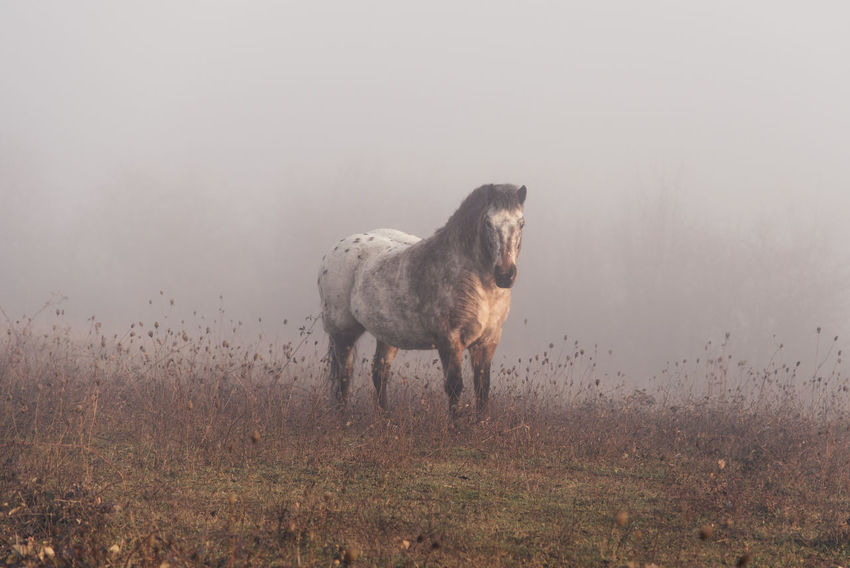 One Animal Animal Wildlife Animals In The Wild Animal Mammal Outdoors Fog Nature Animal Themes No People Day Full Length Beauty In Nature Horse Pony Poney Ponies