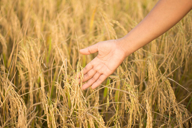 Cropped hand of woman touching wheat plants