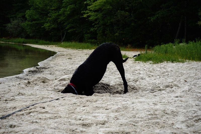 Close-Up Of Black Dog Digging Sand On Shore