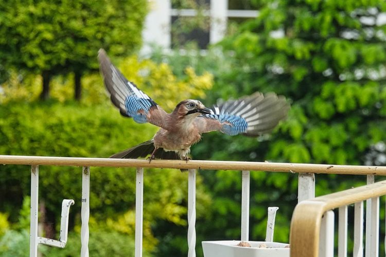 Eichelhäher Vertebrate Bird Animal Animal Themes Animal Wildlife Animals In The Wild One Animal Flying Spread Wings Focus On Foreground Boundary Fence Barrier Day No People Railing Nature Animal Wing Wood - Material Wooden Post