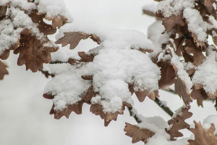 Winter Snow Cold Temperature Tree Nature Close-up Outdoors Day Branch No People Beauty In Nature Snowy Leaves Oak Leaves Snow ❄ Nature At Your Doorstep EyeEm Nature Lover Winter Morning Early In The Morning Beauty In Nature