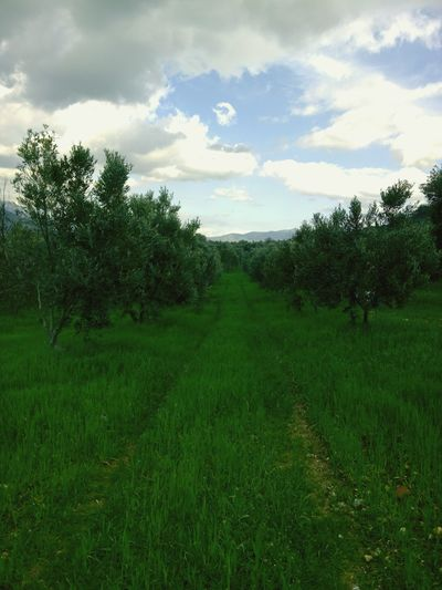 Turkey Izmir Green Valley Nature Olive Oil Tree