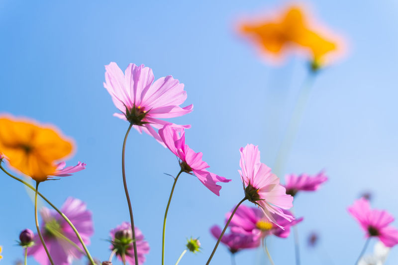 Low angle view of pink cosmos flowers against blue sky