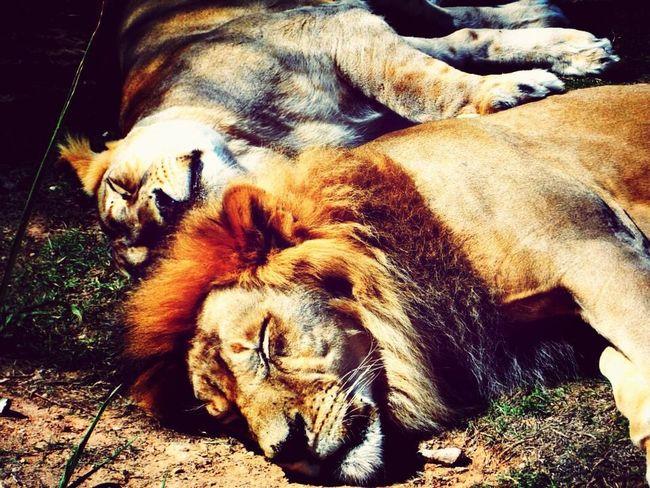 The king sleeps Relaxing Enjoying Life Taking Photos Al Ain Zoo