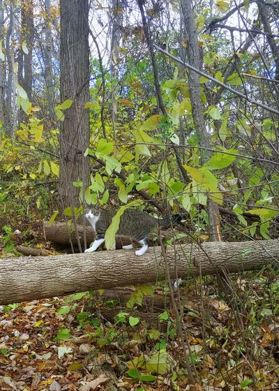 Prowling Soxes Autumn Backgrounds Beauty In Nature Cat Day Forest Full Frame Green Color Grove Growth Hiding In Plain Sight Hiding Out... Low Angle View Lush - Description Nature No People Outdoors Scenics Tranquility Tree Tree Bark Patterns Tree Trunk White Paws